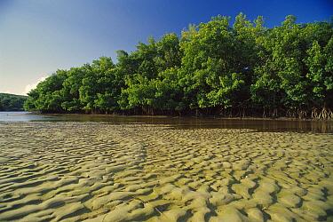 Mangrove (Rhizophoraceae) forest at low tide, Mamanguape River Estuary, Brazil  -  Luciano Candisani