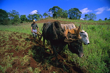 Traditional agricultural methods using bulls to plough a field, Brazil  -  Luciano Candisani