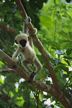 Northern Muriqui (Brachyteles hypoxanthus) young playing, critically endangered species, largest new world monkey, Minas Gerais, Brazil  -  Luciano Candisani