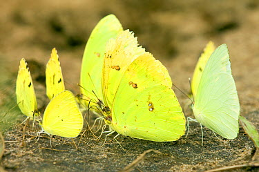 Pierid Butterfly (Pieridae) group on riverbank, Cerrado Ecosystem, Brazil  -  Luciano Candisani