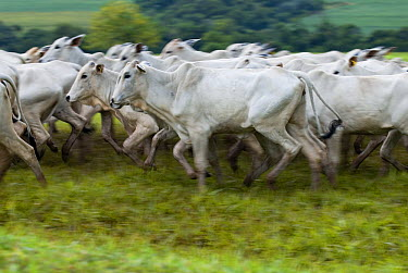 Domestic Cattle (Bos taurus), Zebu breed, Sao Paulo, Brazil  -  Luciano Candisani