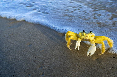 Ghost Crab (Ocypode quadrata) on beach, Urucuca, Bahia, Brazil  -  Luciano Candisani