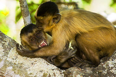 Brown Capuchin (Cebus apella) biting adult, Brazil  -  Luciano Candisani