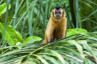 Brown Capuchin (Cebus apella) in Palm (Scheelea phalerata), Bodoquena, Brazil  -  Luciano Candisani