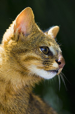 Pampas Cat (Leopardus colocolo) portrait, Cerrado Ecosystem, Brazil  -  Luciano Candisani