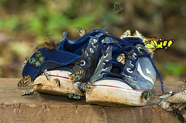 Butterflies sipping salt off sweaty tennis shoes, Cerrado Ecosystem, Brazil  -  Luciano Candisani