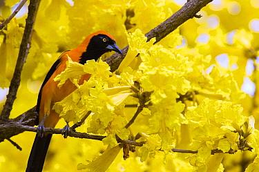 Troupial (Icterus icterus) perched in flowering tree, Cerrado Ecosystem, Brazil  -  Luciano Candisani