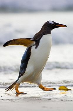 Gentoo Penguin (Pygoscelis papua) running, Saunders Island, Falkland Islands  -  Luciano Candisani