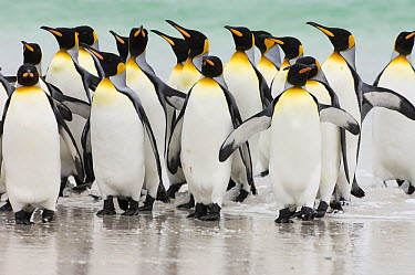 King Penguin (Aptenodytes patagonicus) group on beach, Volunteer Point, East Falkland Island, Falkland Islands  -  Luciano Candisani