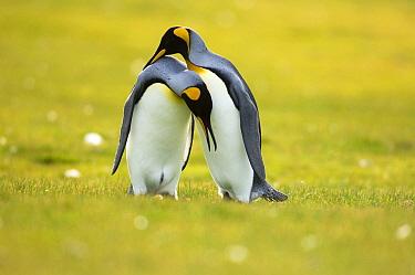 King Penguin (Aptenodytes patagonicus) couple courting, Volunteer Point, East Falkland Island, Falkland Islands  -  Luciano Candisani