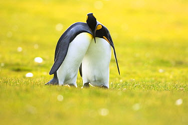 King Penguin (Aptenodytes patagonicus) couple courting, Volunteer Point, East Falkland Island, Falkland Islands  -  Luciano Candisani