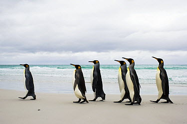 King Penguin (Aptenodytes patagonicus) group on beach, Volunteer Point, East Falkland Island, Falkland Islands  -  Luciano Candisani