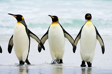 King Penguin (Aptenodytes patagonicus) trio on beach, Volunteer Point, East Falkland Island, Falkland Islands  -  Luciano Candisani