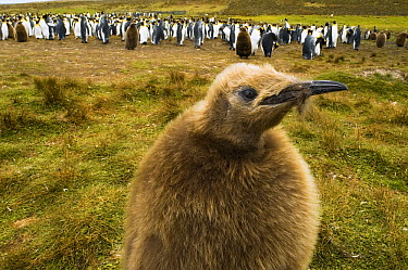 King Penguin (Aptenodytes patagonicus) chick near colony, Volunteer Point, East Falkland Island, Falkland Islands  -  Luciano Candisani