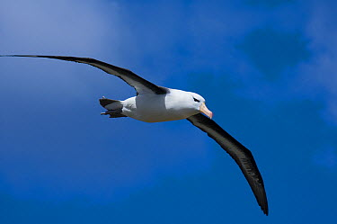 Black-browed Albatross (Thalassarche melanophrys) flying, Steeple Jason Island, Falkland Islands  -  Luciano Candisani