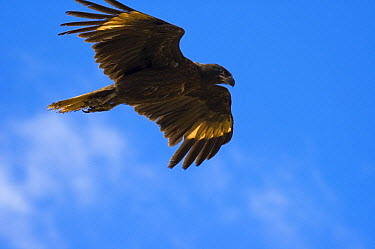 Striated Caracara (Phalcoboenus australis) flying, Falkland Islands  -  Luciano Candisani
