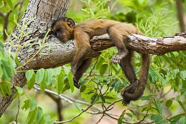 Brown Capuchin (Cebus apella) resting, Gilbues, Brazil  -  Luciano Candisani
