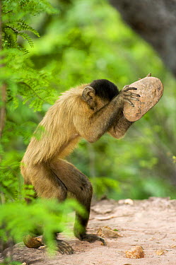 Brown Capuchin (Cebus apella) using a rock as a hammer to crack a palm nut, Gilbues, Brazil  -  Luciano Candisani