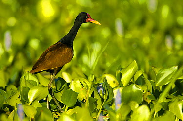 Wattled Jacana (Jacana jacana) walking on water plants, Pantanal, Brazil  -  Luciano Candisani