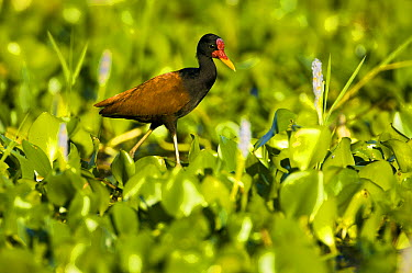 Wattled Jacana (Jacana jacana) walking on water plants to forage, Pantanal, Brazil  -  Luciano Candisani