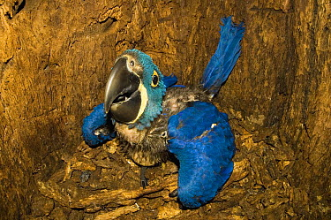 Hyacinth Macaw (Anodorhynchus hyacinthinus) newborn in nest in Panama Tree (Sterculia apetala) hole, Pantanal, Brazil  -  Luciano Candisani