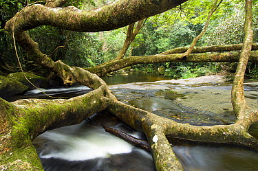 Fig (Ficus sp) tree and Rio Grande Waterfall, Brazil  -  Luciano Candisani