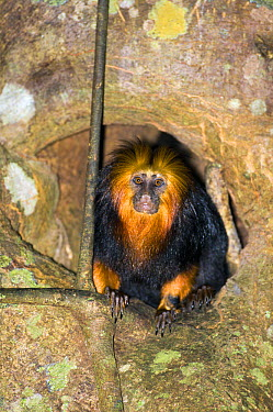 Golden-headed Lion Tamarin (Leontopithecus chrysomelas) emerging from its sleep den in the trunk of a tree, Bahia, Brazil  -  Luciano Candisani