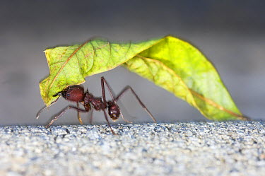 Leafcutter Ant (Atta sp) worker carrying leaf segment, Brazil  -  Luciano Candisani