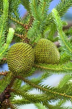 Parana Pine (Araucaria angustifolia) female cones, Brazil  -  Luciano Candisani