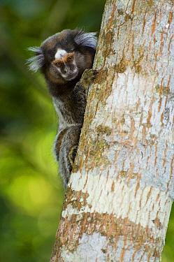 Common Marmoset (Callithrix jacchus) on tree trunk, Atlantic Forest, Rio De Janeiro, Brazil  -  Luciano Candisani