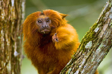 Golden Lion Tamarin (Leontopithecus rosalia) with baby, Atlantic Forest, Brazil  -  Luciano Candisani
