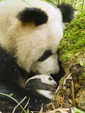 Giant Panda (Ailuropoda melanoleuca), wild mother nuzzling cub at den opening, China  -  Mitsuaki Iwago