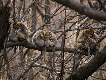 Golden Snub-nosed Monkey (Rhinopithecus roxellana) troop huddling for warmth, China  -  Mitsuaki Iwago