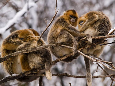 Golden Snub-nosed Monkey (Rhinopithecus roxellana) group huddling for warmth, China  -  Mitsuaki Iwago