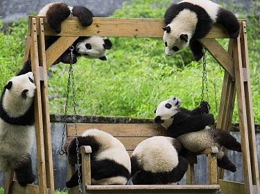 Giant Panda (Ailuropoda melanoleuca), six captive bred cubs playing, China  -  Mitsuaki Iwago
