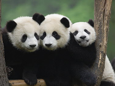 Giant Panda (Ailuropoda melanoleuca), three captive bred cubs, China  -  Mitsuaki Iwago