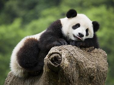 Giant Panda (Ailuropoda melanoleuca), captive bred cub resting, China  -  Mitsuaki Iwago