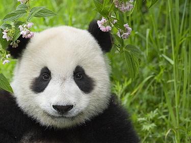 Giant Panda (Ailuropoda melanoleuca) portrait, captive bred, Wolong, Sichuan, China  -  Mitsuaki Iwago