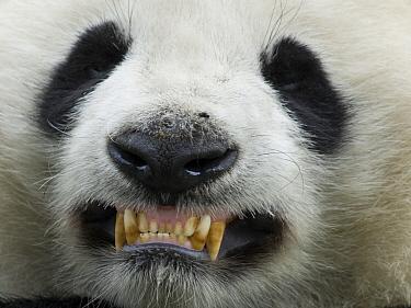 Giant Panda (Ailuropoda melanoleuca), captive bred cub baring its teeth, China  -  Mitsuaki Iwago