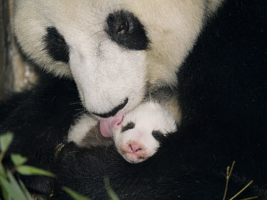 Giant Panda (Ailuropoda melanoleuca) mother cleaning cub, China  -  Mitsuaki Iwago