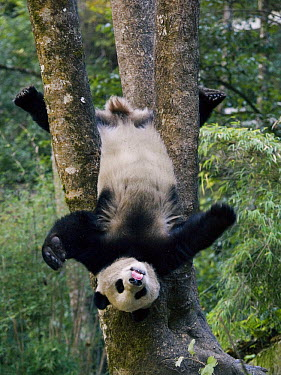 Giant Panda (Ailuropoda melanoleuca) cub playing in a tree, China  -  Mitsuaki Iwago