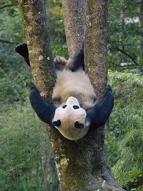Giant Panda (Ailuropoda melanoleuca) cub playing in a tree, China  -  Mitsuaki Iwago