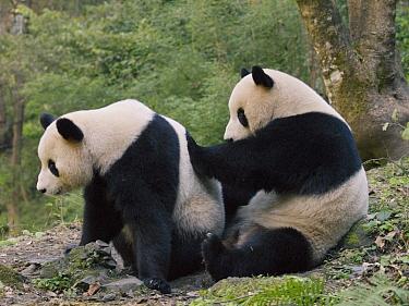 Giant Panda (Ailuropoda melanoleuca) cub pushing another cub, China  -  Mitsuaki Iwago