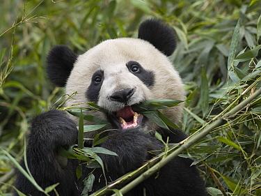 Giant Panda (Ailuropoda melanoleuca) eating bamboo, China  -  Mitsuaki Iwago