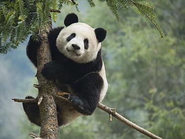 Giant Panda (Ailuropoda melanoleuca) climbing a tree, China  -  Mitsuaki Iwago
