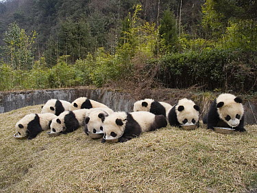 Giant Panda (Ailuropoda melanoleuca), nine captive bred cubs eating, China  -  Mitsuaki Iwago