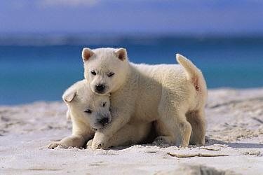 Kishu Inu (Canis familiaris) puppies playing in the sand  -  Mitsuaki Iwago