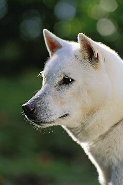 Kishu Inu (Canis familiaris) portrait  -  Mitsuaki Iwago