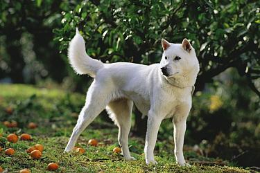 Kishu Inu (Canis familiaris)  -  Mitsuaki Iwago