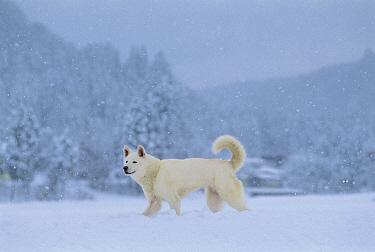 Kishu Inu (Canis familiaris) in the snow  -  Mitsuaki Iwago